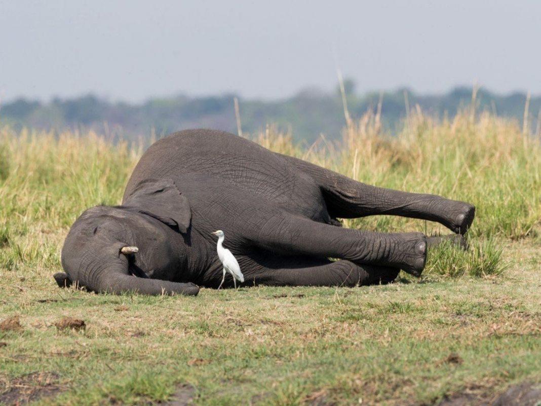 muertes de elenfantes en zimbabue