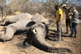 Las muertes de elefantes en Zimbabue activaron las alertas